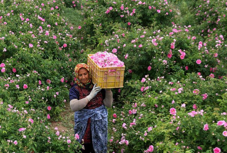 خبرنگاران سال جاری 200 میلیارد ریال صرف دستمزد گل چینی در لاله زار شده است