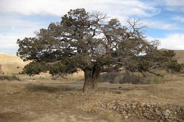 از درخت شاه توت 250 ساله تا کوبیدن میخ بر روی درخت 2000 ساله