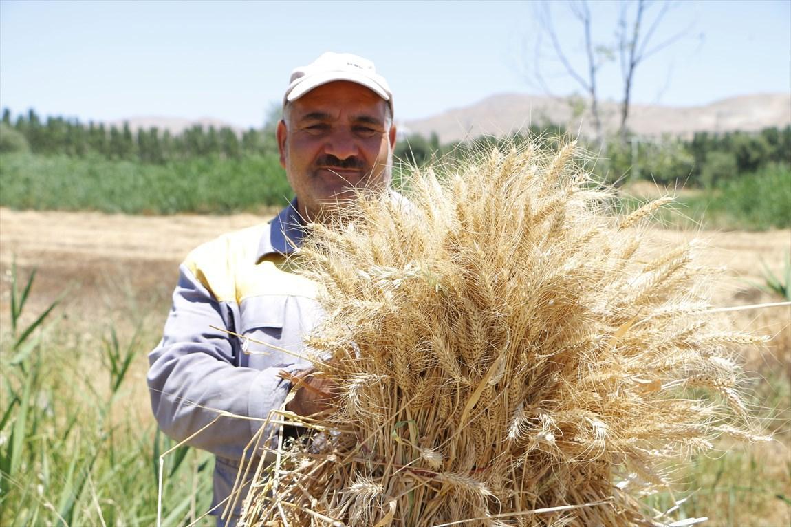برداشت دور پنجم خوشه های طلایی گندم از مزرعه آموزشی دانشگاه آزاد اسلامی بجنورد