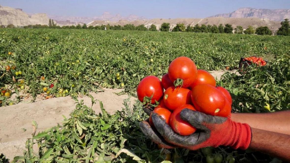 پیش بینی برداشت 8 هزار تن گوجه فرنگی از مزارع شهرستان تفتان